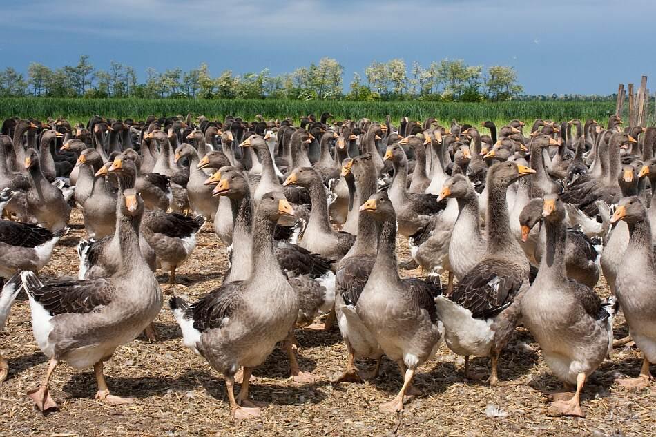 Chlazené husí foie gras